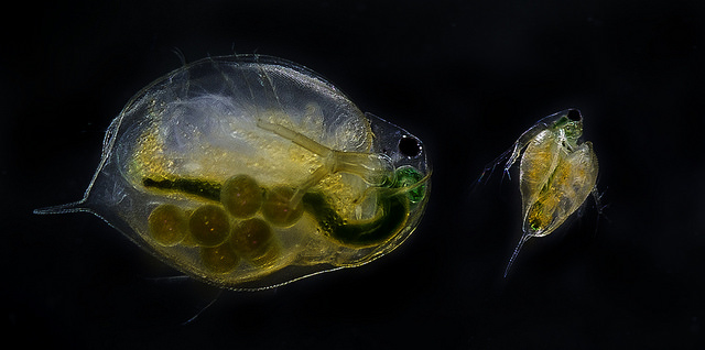 Daphnia magna adult and juvenile. (Flickr: NTNU Faculty of Natural Sciences and Technology)