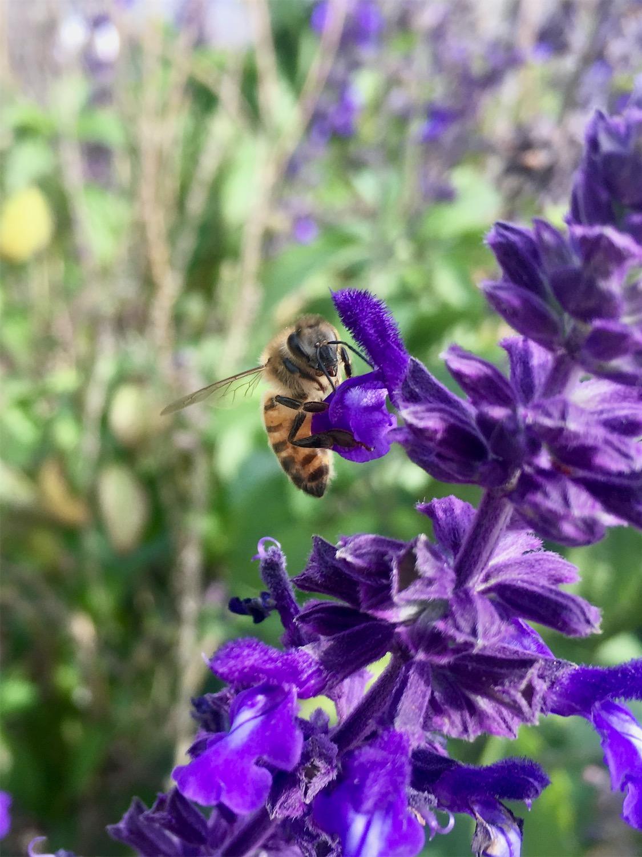 A honeybee on blue salvia flowers