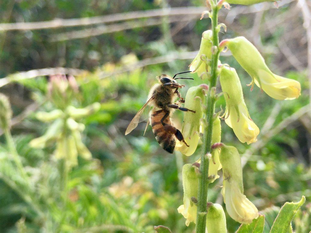 A honeybee on a white flower